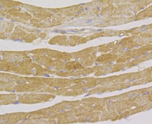 Immunohistochemical analysis of paraffin-embedded mouse heart tissue using anti-Integrin linked ILK antibody. The section was pre-treated using heat mediated antigen retrieval with Tris-EDTA buffer (pH 8.0-8.4) for 20 minutes.The tissues were blocked in 5% BSA for 30 minutes at room temperature, washed with ddH2O and PBS, and then probed with the antibody (ER1803-78) at 1/50 dilution, for 30 minutes at room temperature and detected using an HRP conjugated compact polymer system. DAB was used as the chrogen. Counter stained with hematoxylin and mounted with DPX.