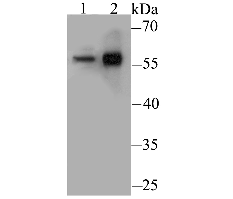 Western blot analysis of CD4 on different lysates. Proteins were transferred to a PVDF membrane and blocked with 5% BSA in PBS for 1 hour at room temperature. The primary antibody was used at a 1:500 dilution in 5% BSA at room temperature for 2 hours. Goat Anti-Rabbit IgG - HRP Secondary Antibody (HA1001) at 1:5,000 dilution was used for 1 hour at room temperature.<br /> Positive control: <br /> Lane 1: U937 cell lysate<br /> Lane 2: Human thymus tissue lysate