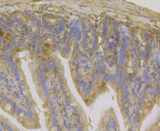 Immunohistochemical analysis of paraffin-embedded mouse colon tissue using anti-IL-22 antibody. The section was pre-treated using heat mediated antigen retrieval with sodium citrate buffer (pH 6.0) for 20 minutes. The tissues were blocked in 5% BSA for 30 minutes at room temperature, washed with ddH2O and PBS, and then probed with the antibody (ER1803-85) at 1/200 dilution, for 30 minutes at room temperature and detected using an HRP conjugated compact polymer system. DAB was used as the chrogen. Counter stained with hematoxylin and mounted with DPX.