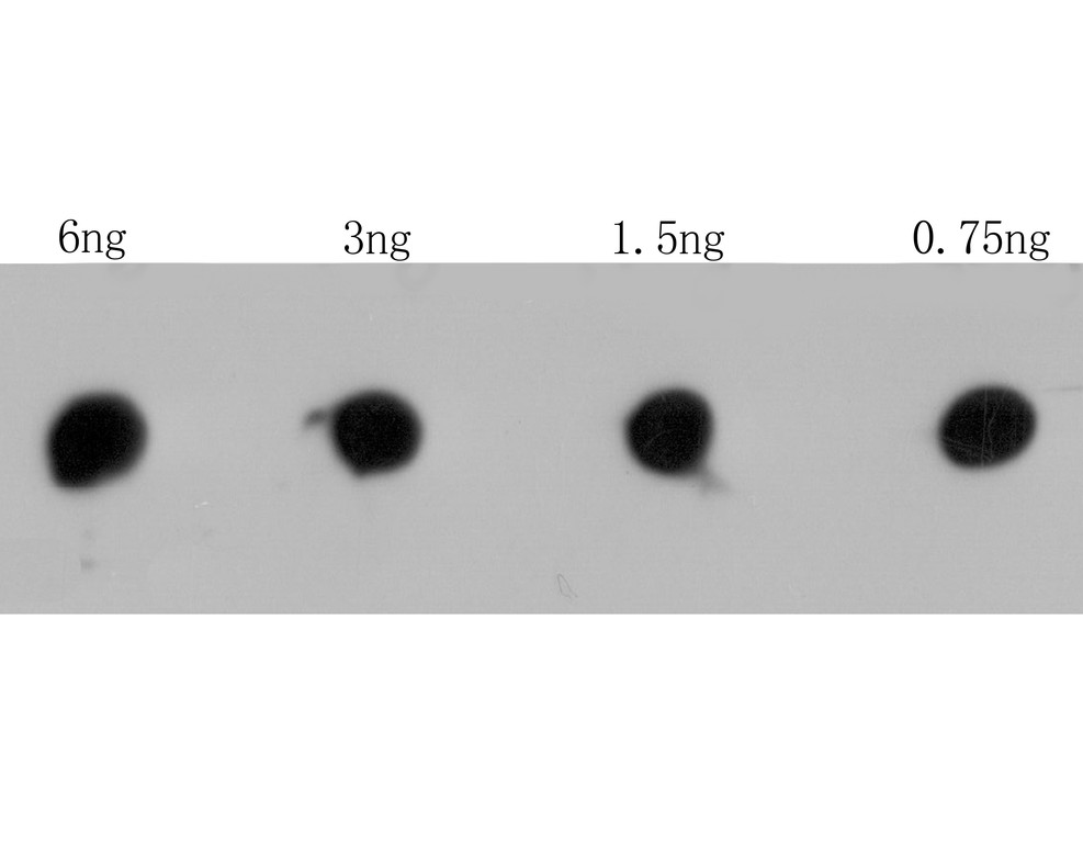 Dot blot analysis of RYR3 on RYR3 recombinant protein. The primary antibody was used at a 1:2,000 dilution in 5% BSA at room temperature for 2 hours. Goat Anti-Rabbit IgG - HRP Secondary Antibody (HA1001) at 1:5,000 dilution was used for 1 hour at room temperature.