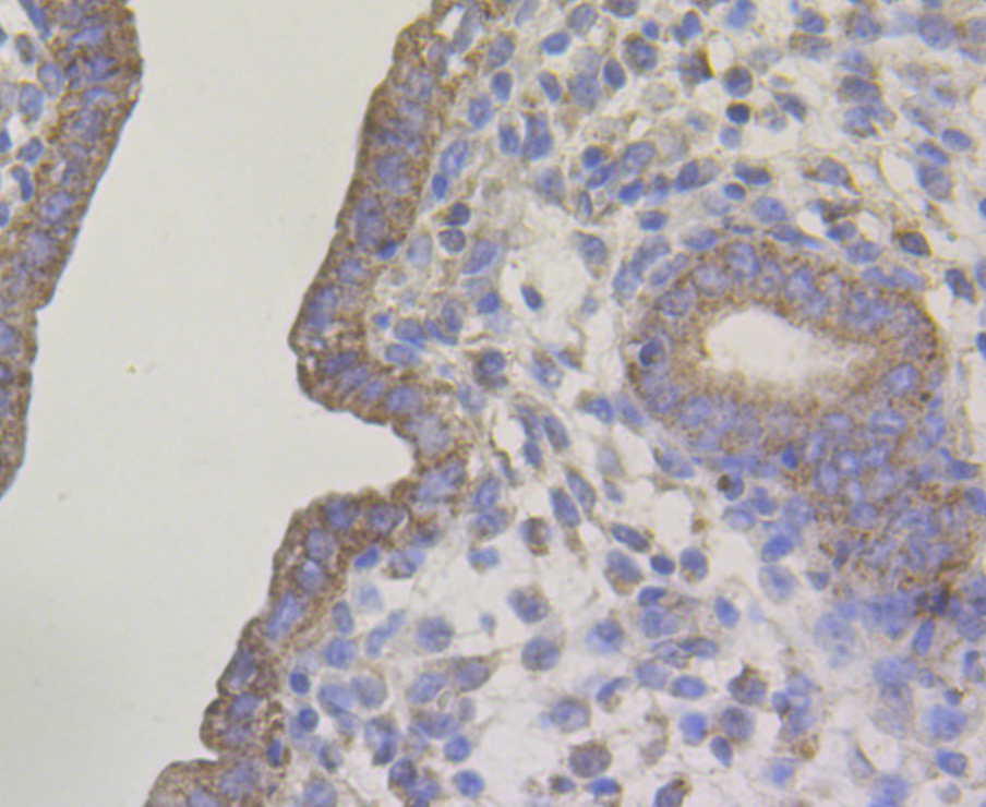 Immunohistochemical analysis of paraffin-embedded rat uterus tissue using anti-Connexin 45 / GJA7 / Cx45 antibody. The section was pre-treated using heat mediated antigen retrieval with Tris-EDTA buffer (pH 8.0-8.4) for 20 minutes.The tissues were blocked in 5% BSA for 30 minutes at room temperature, washed with ddH2O and PBS, and then probed with the antibody (ER1803-93) at 1/50 dilution, for 30 minutes at room temperature and detected using an HRP conjugated compact polymer system. DAB was used as the chromogen. Counter stained with hematoxylin and mounted with DPX.