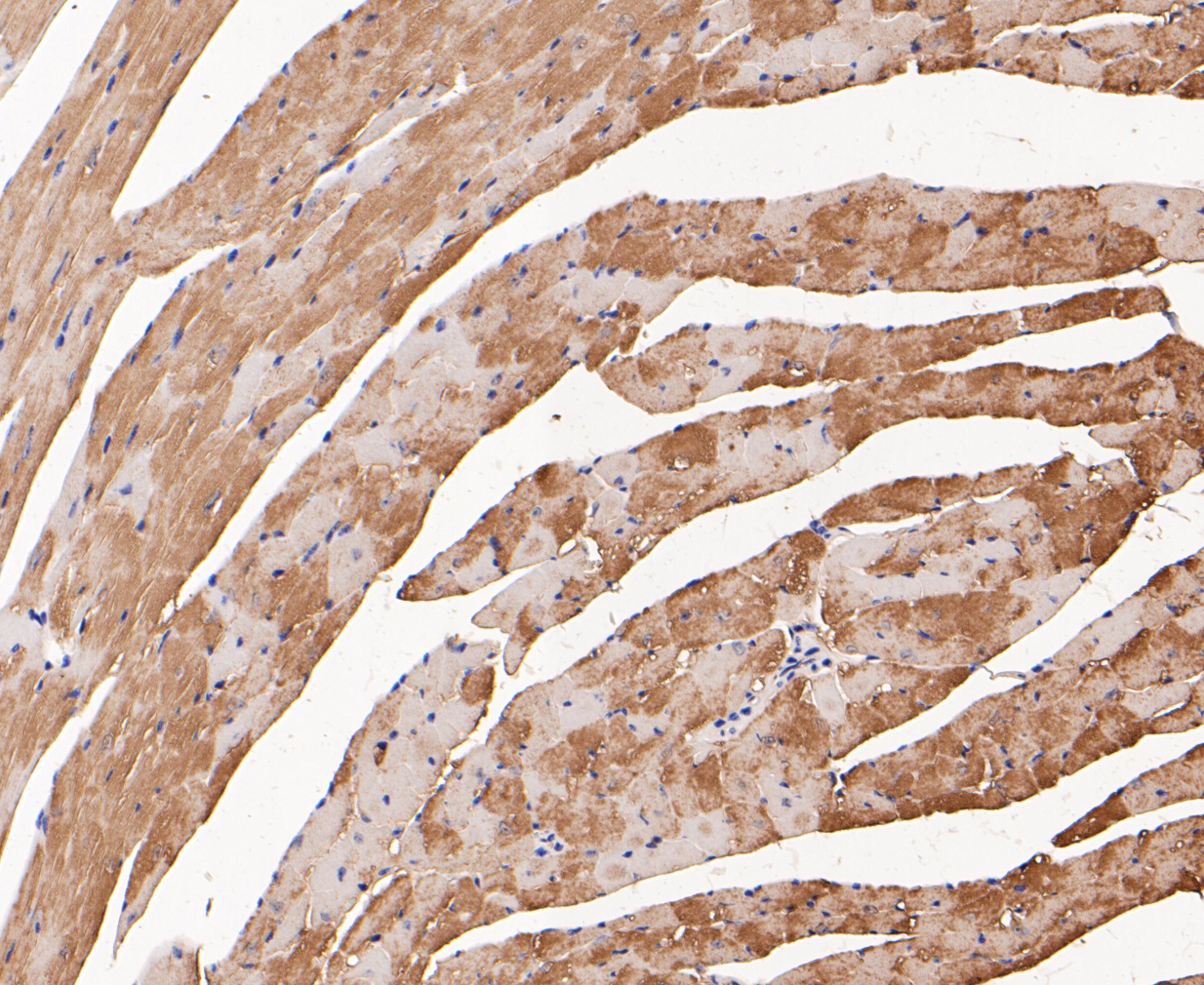 Immunohistochemical analysis of paraffin-embedded mouse heart muscle tissue using anti-Myoglobin antibody. The section was pre-treated using heat mediated antigen retrieval with Tris-EDTA buffer (pH 8.0-8.4) for 20 minutes.The tissues were blocked in 5% BSA for 30 minutes at room temperature, washed with ddH2O and PBS, and then probed with the primary antibody (ER1901-17, 1/200) for 30 minutes at room temperature. The detection was performed using an HRP conjugated compact polymer system. DAB was used as the chromogen. Tissues were counterstained with hematoxylin and mounted with DPX.