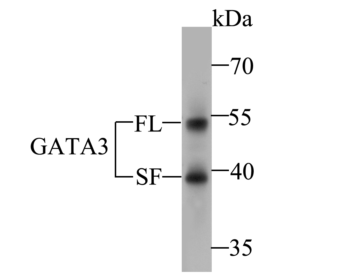 Western blot analysis of GATA3 on MCF-7 cell lysate. Proteins were transferred to a PVDF membrane and blocked with 5% BSA in PBS for 1 hour at room temperature. The primary antibody (ER1901-20, 1/500) was used in 5% BSA at room temperature for 2 hours. Goat Anti-Rabbit IgG - HRP Secondary Antibody (HA1001) at 1:5,000 dilution was used for 1 hour at room temperature.<br /> Specific bands were detected for GATA3 full length (FL) at approximately 52 kDa and the splice form (SF) at approximately 39 kDa (as indicated).