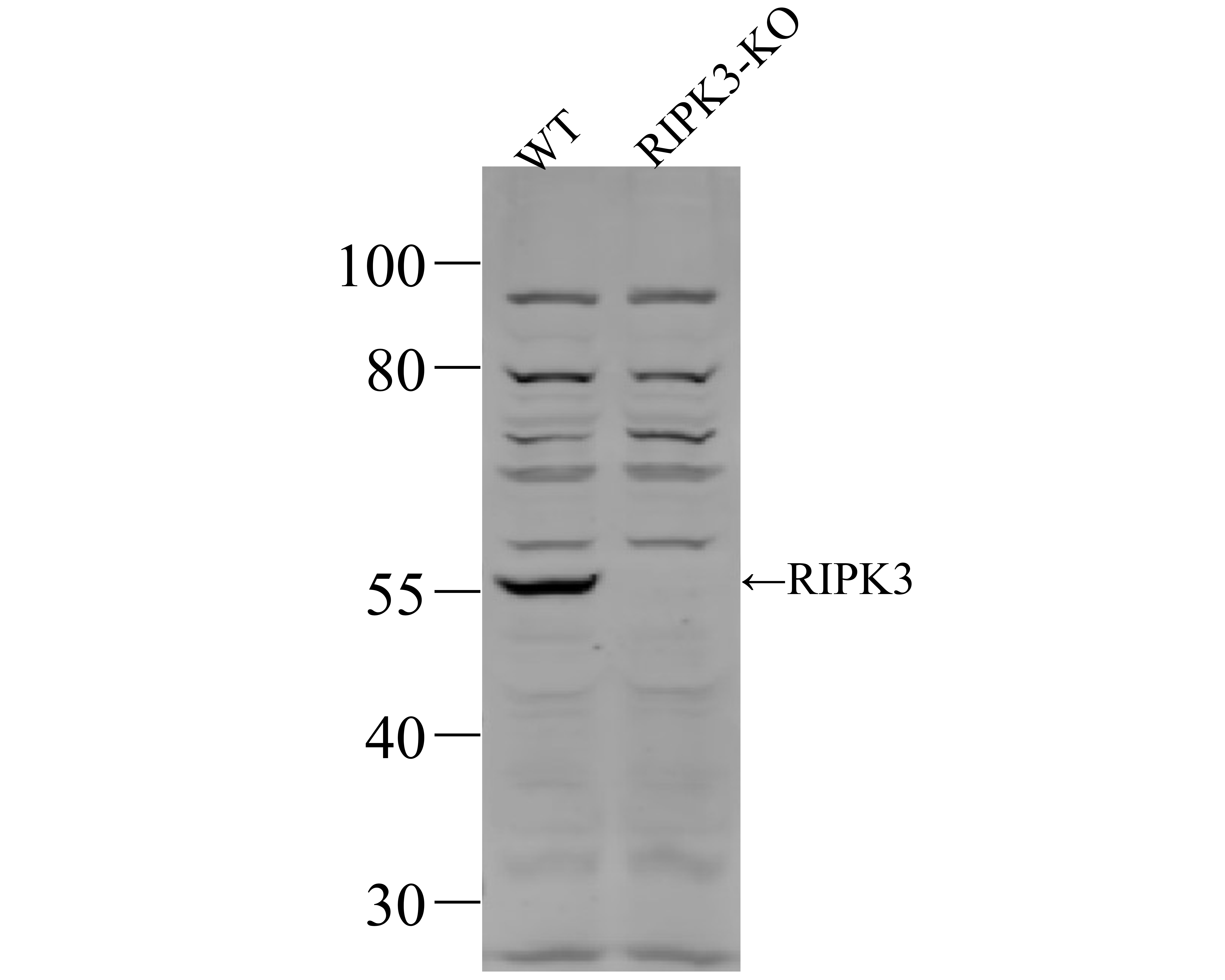 Western blot analysis of RIP3 on MEF cell lysates. Proteins were transferred to a PVDF membrane and blocked with 5% BSA in PBS for 1 hour at room temperature. The primary antibody was used at a 1:500 dilution in 5% BSA at room temperature for 2 hours. Goat Anti-Rabbit IgG - HRP Secondary Antibody (HA1001) at 1:5,000 dilution was used for 1 hour at room temperature.<br /> <br /> Lane 1: Wild-type MEF cell lysate<br /> Lane 2: RIPK3 knockout MEF cell lysate
