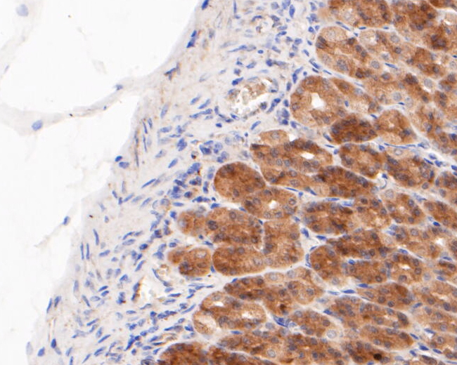 Immunohistochemical analysis of paraffin-embedded rat stomach tissue using anti-Gasdermin D (N terminal) antibody. The section was pre-treated using heat mediated antigen retrieval with sodium citrate buffer (pH 6.0) for 20 minutes. The tissues were blocked in 5% BSA for 30 minutes at room temperature, washed with ddH2O and PBS, and then probed with the primary antibody (ER1901-37, 1/200) for 30 minutes at room temperature. The detection was performed using an HRP conjugated compact polymer system. DAB was used as the chromogen. Tissues were counterstained with hematoxylin and mounted with DPX.