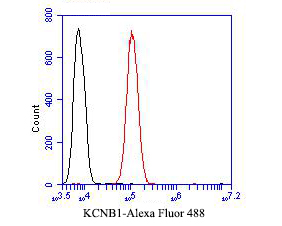 Flow cytometric analysis of KCNB1 was done on SH-SY5Y cells. The cells were fixed, permeabilized and stained with the primary antibody (ER1901-41, 1/50) (red). After incubation of the primary antibody at room temperature for an hour, the cells were stained with a Alexa Fluor 488-conjugated Goat anti-Rabbit IgG Secondary antibody at 1/1000 dilution for 30 minutes.Unlabelled sample was used as a control (cells without incubation with primary antibody; black).