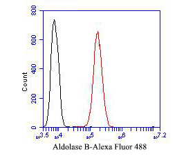 Flow cytometric analysis of Aldolase B was done on SH-SY5Y cells. The cells were fixed, permeabilized and stained with the primary antibody (ER1901-42, 1/50) (red). After incubation of the primary antibody at room temperature for an hour, the cells were stained with a Alexa Fluor 488-conjugated Goat anti-Rabbit IgG Secondary antibody at 1/1000 dilution for 30 minutes.Unlabelled sample was used as a control (cells without incubation with primary antibody; black).