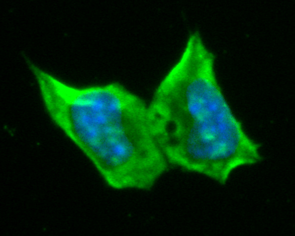 ICC staining of RBPMS in F9 cells (green). Formalin fixed cells were permeabilized with 0.1% Triton X-100 in TBS for 10 minutes at room temperature and blocked with 1% Blocker BSA for 15 minutes at room temperature. Cells were probed with the primary antibody (ER1901-43, 1/100) for 1 hour at room temperature, washed with PBS. Alexa Fluor®488 Goat anti-Rabbit IgG was used as the secondary antibody at 1/1,000 dilution. The nuclear counter stain is DAPI (blue).