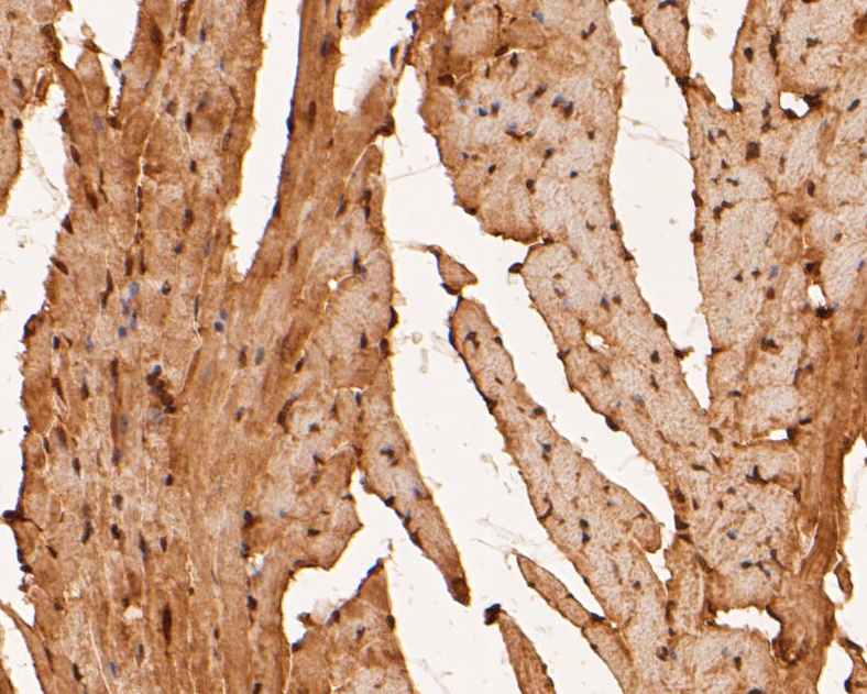 Immunohistochemical analysis of paraffin-embedded mouse heart tissue using anti-RBPMS antibody. The section was pre-treated using heat mediated antigen retrieval with sodium citrate buffer (pH 6.0) for 20 minutes. The tissues were blocked in 5% BSA for 30 minutes at room temperature, washed with ddH2O and PBS, and then probed with the primary antibody (ER1901-43, 1/50) for 30 minutes at room temperature. The detection was performed using an HRP conjugated compact polymer system. DAB was used as the chromogen. Tissues were counterstained with hematoxylin and mounted with DPX.