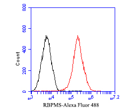 Flow cytometric analysis of RBPMS was done on F9 cells. The cells were fixed, permeabilized and stained with the primary antibody (ER1901-43, 1/50) (red). After incubation of the primary antibody at room temperature for an hour, the cells were stained with a Alexa Fluor 488-conjugated Goat anti-Rabbit IgG Secondary antibody at 1/1000 dilution for 30 minutes.Unlabelled sample was used as a control (cells without incubation with primary antibody; black).