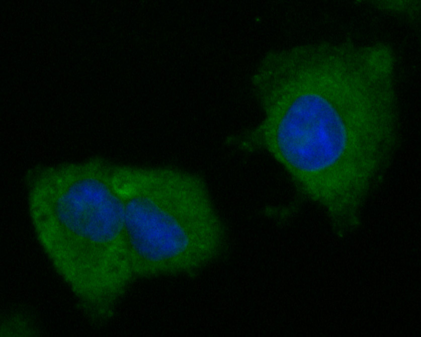 ICC staining of BCL2L15 in A549 cells (green). Formalin fixed cells were permeabilized with 0.1% Triton X-100 in TBS for 10 minutes at room temperature and blocked with 1% Blocker BSA for 15 minutes at room temperature. Cells were probed with the primary antibody (ER1901-44, 1/50) for 1 hour at room temperature, washed with PBS. Alexa Fluor®488 Goat anti-Rabbit IgG was used as the secondary antibody at 1/1,000 dilution. The nuclear counter stain is DAPI (blue).