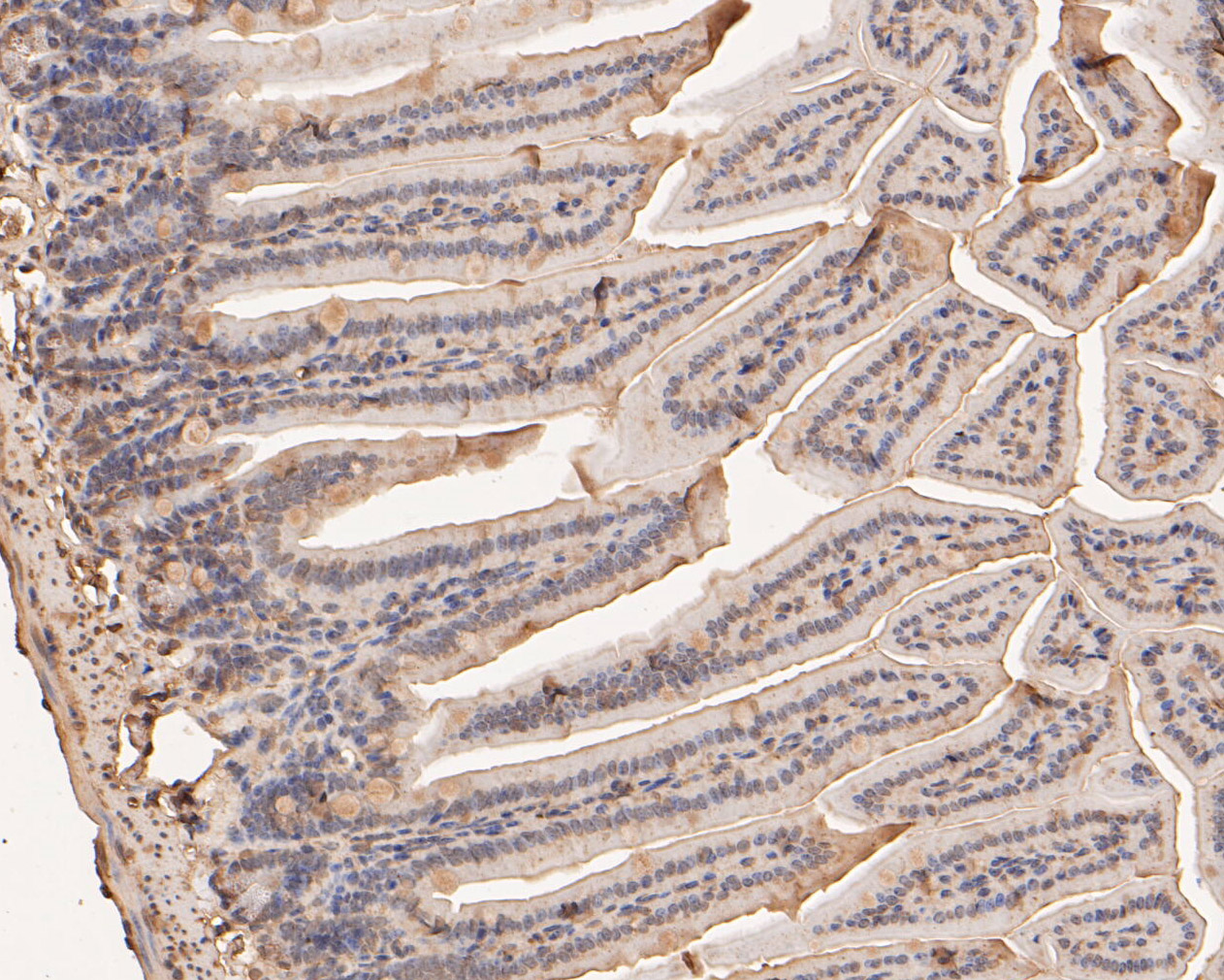 Immunohistochemical analysis of paraffin-embedded mouse colon tissue using anti-BCL2L15 antibody. The section was pre-treated using heat mediated antigen retrieval with sodium citrate buffer (pH 6.0) for 20 minutes. The tissues were blocked in 5% BSA for 30 minutes at room temperature, washed with ddH2O and PBS, and then probed with the primary antibody (ER1901-44, 1/50) for 30 minutes at room temperature. The detection was performed using an HRP conjugated compact polymer system. DAB was used as the chromogen. Tissues were counterstained with hematoxylin and mounted with DPX.