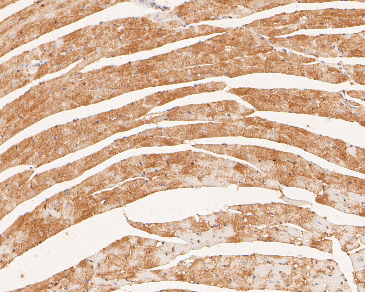 Immunohistochemical analysis of paraffin-embedded mouse heart tissue using anti-P2X6 antibody. The section was pre-treated using heat mediated antigen retrieval with Tris-EDTA buffer (pH 8.0-8.4) for 20 minutes.The tissues were blocked in 5% BSA for 30 minutes at room temperature, washed with ddH2O and PBS, and then probed with the primary antibody (ER1901-49, 1/50) for 30 minutes at room temperature. The detection was performed using an HRP conjugated compact polymer system. DAB was used as the chromogen. Tissues were counterstained with hematoxylin and mounted with DPX.