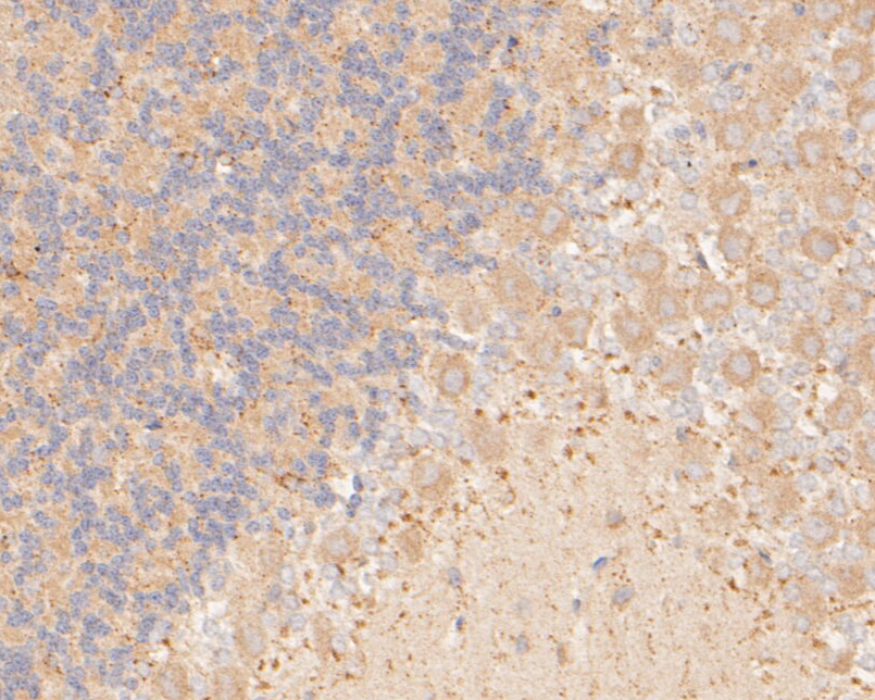 Immunohistochemical analysis of paraffin-embedded rat cerebellum tissue using anti-P2X7 antibody. The section was pre-treated using heat mediated antigen retrieval with Tris-EDTA buffer (pH 8.0-8.4) for 20 minutes.The tissues were blocked in 5% BSA for 30 minutes at room temperature, washed with ddH2O and PBS, and then probed with the primary antibody (ER1901-50, 1/50) for 30 minutes at room temperature. The detection was performed using an HRP conjugated compact polymer system. DAB was used as the chromogen. Tissues were counterstained with hematoxylin and mounted with DPX.