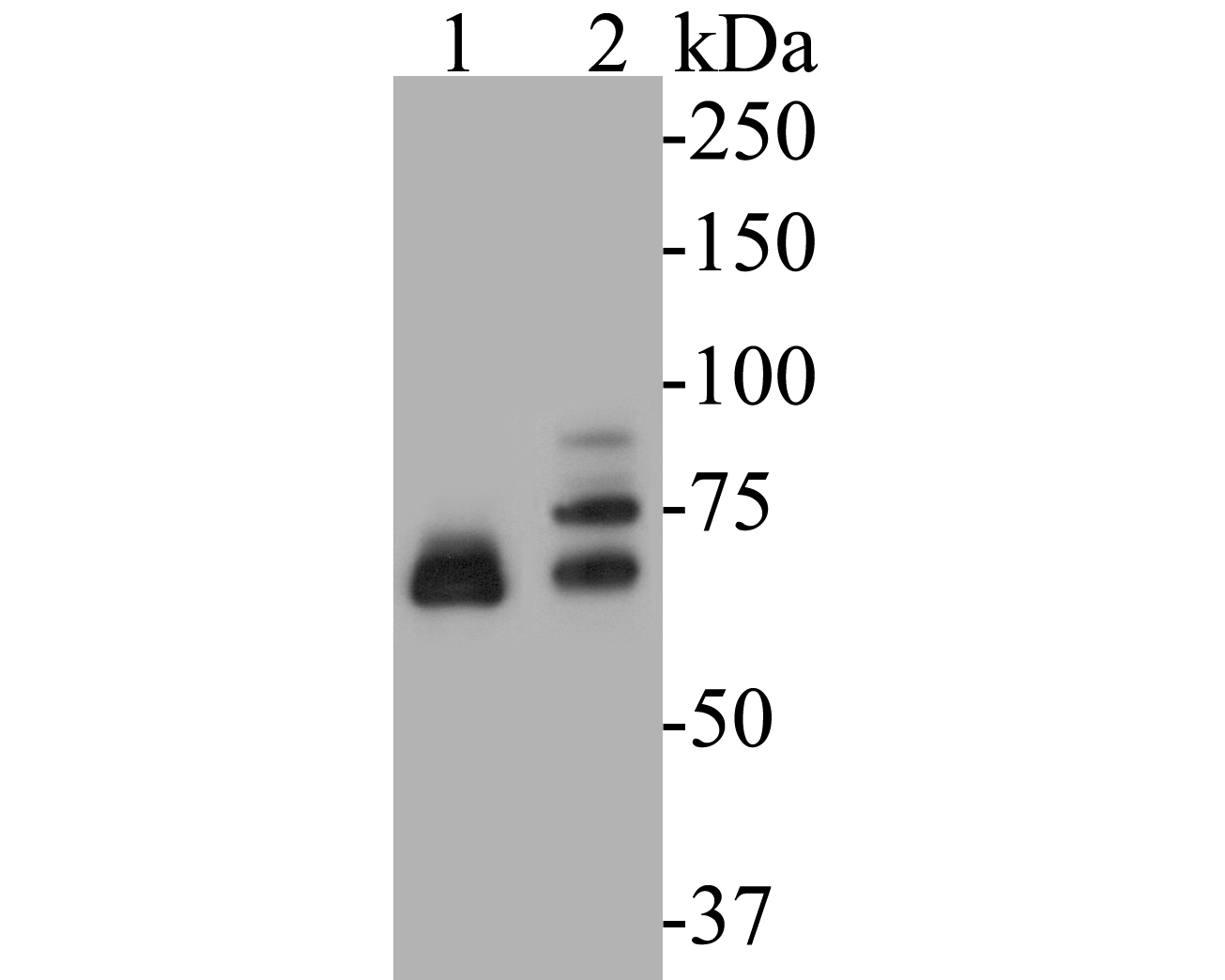 Western blot analysis of Dux on different lysates. Proteins were transferred to a PVDF membrane and blocked with 5% BSA in PBS for 1 hour at room temperature. The primary antibody (ER1901-52, 1/500) was used in 5% BSA at room temperature for 2 hours. Goat Anti-Rabbit IgG - HRP Secondary Antibody (HA1001) at 1:5,000 dilution was used for 1 hour at room temperature.<br /> Positive control: <br /> Lane 1: Hela cell lysate<br /> Lane 2: Jurkat cell lysate