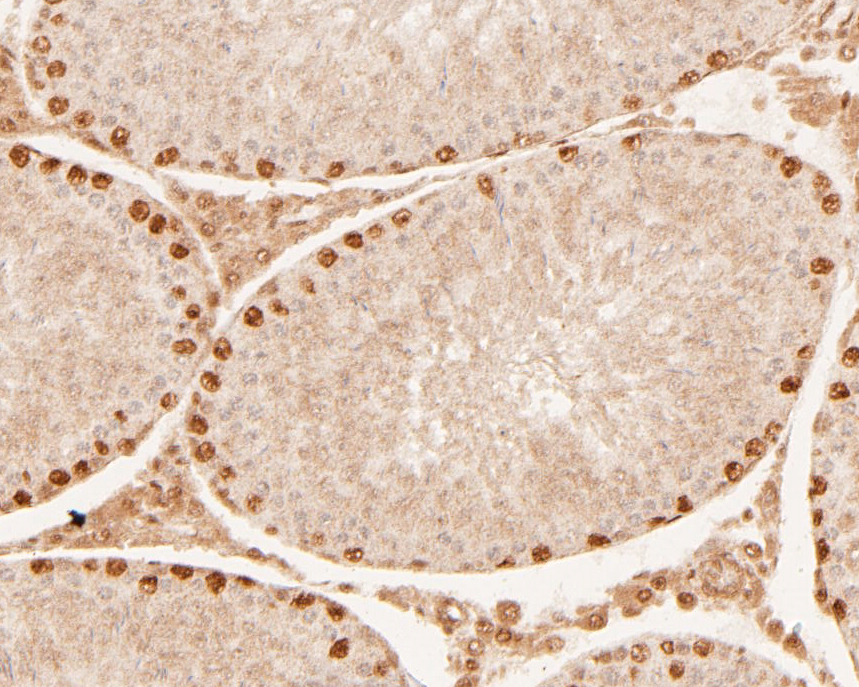 Immunohistochemical analysis of paraffin-embedded rat testis tissue using anti-Dux antibody. The section was pre-treated using heat mediated antigen retrieval with sodium citrate buffer (pH 6.0) for 20 minutes. The tissues were blocked in 5% BSA for 30 minutes at room temperature, washed with ddH2O and PBS, and then probed with the primary antibody (ER1901-52, 1/200) for 30 minutes at room temperature. The detection was performed using an HRP conjugated compact polymer system. DAB was used as the chromogen. Tissues were counterstained with hematoxylin and mounted with DPX.