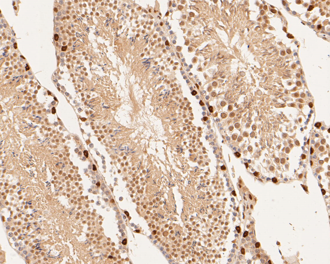 Immunohistochemical analysis of paraffin-embedded mouse testis tissue using anti-Dux antibody. The section was pre-treated using heat mediated antigen retrieval with sodium citrate buffer (pH 6.0) for 20 minutes. The tissues were blocked in 5% BSA for 30 minutes at room temperature, washed with ddH2O and PBS, and then probed with the primary antibody (ER1901-52, 1/200) for 30 minutes at room temperature. The detection was performed using an HRP conjugated compact polymer system. DAB was used as the chromogen. Tissues were counterstained with hematoxylin and mounted with DPX.