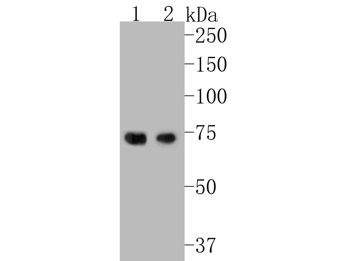 Western blot analysis of HDG11 on HDG11 recombinant protein. Proteins were transferred to a PVDF membrane and blocked with 5% BSA in PBS for 1 hour at room temperature. The primary antibody (ER1901-56) was used in 5% BSA at room temperature for 2 hours. Goat Anti-Rabbit IgG - HRP Secondary Antibody (HA1001) at 1:5,000 dilution was used for 1 hour at room temperature.<br />  Positive control: <br />  Lane 1: HDG11 recombinant protein with primary antibody at 1:200 dilutions<br />  Lane 2: HDG11 recombinant protein with primary antibody at 1:1,000 dilutions