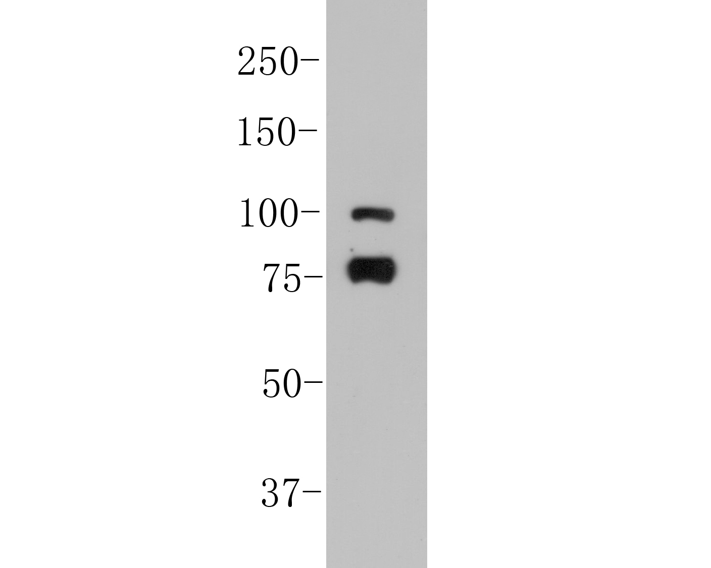 Western blot analysis of SPATA5L1 on K562 cell lysates. Proteins were transferred to a PVDF membrane and blocked with 5% BSA in PBS for 1 hour at room temperature. The primary antibody (ER1901-68, 1/500) was used in 5% BSA at room temperature for 2 hours. Goat Anti-Rabbit IgG - HRP Secondary Antibody (HA1001) at 1:5,000 dilution was used for 1 hour at room temperature.