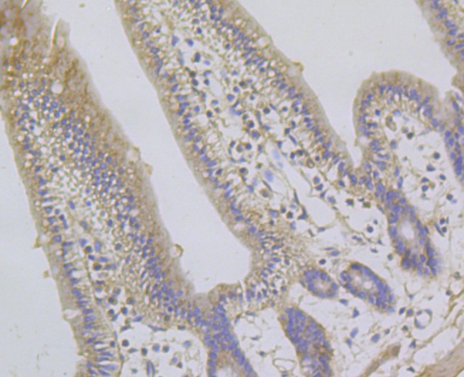 Immunohistochemical analysis of paraffin-embedded Mouse small intestine tissue using anti-GABARAPL2 antibody. The section was pre-treated using heat mediated antigen retrieval with Tris-EDTA buffer (pH 8.0-8.4) for 20 minutes.The tissues were blocked in 5% BSA for 30 minutes at room temperature, washed with ddH2O and PBS, and then probed with the primary antibody (ER1901-73, 1/100) for 30 minutes at room temperature. The detection was performed using an HRP conjugated compact polymer system. DAB was used as the chromogen. Tissues were counterstained with hematoxylin and mounted with DPX.