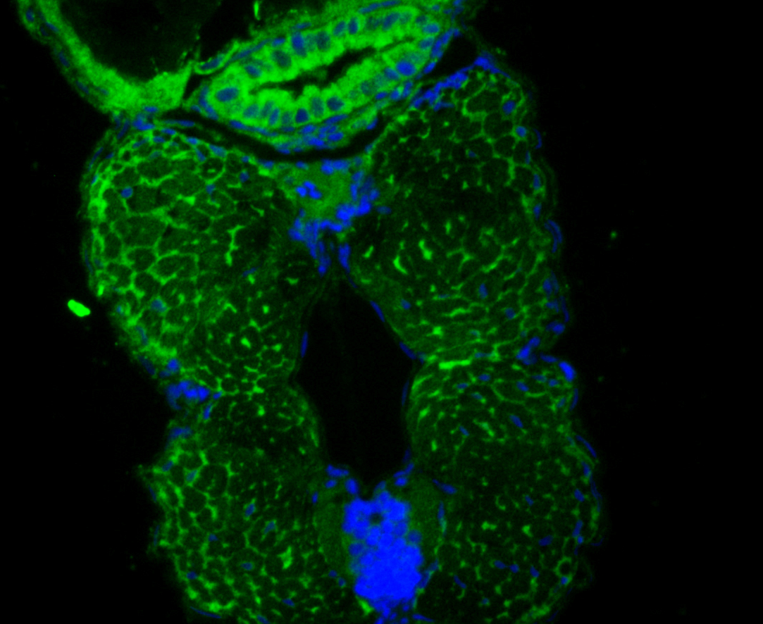 IF staining of DARS2 in whole Zebrafish tissue (green). The nuclear counter stain is DAPI (blue). Cells were fixed in paraformaldehyde, permeabilised with 0.25% Triton X100/PBS.
