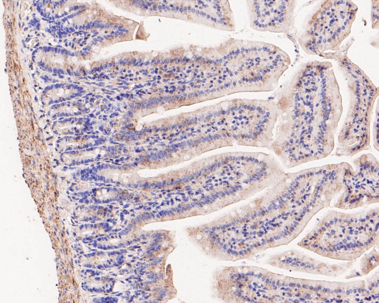 Immunohistochemical analysis of paraffin-embedded mouse colon tissue using anti-FH antibody. The section was pre-treated using heat mediated antigen retrieval with Tris-EDTA buffer (pH 8.0-8.4) for 20 minutes.The tissues were blocked in 5% BSA for 30 minutes at room temperature, washed with ddH2O and PBS, and then probed with the primary antibody (ER1902-01, 1/50) for 30 minutes at room temperature. The detection was performed using an HRP conjugated compact polymer system. DAB was used as the chromogen. Tissues were counterstained with hematoxylin and mounted with DPX.