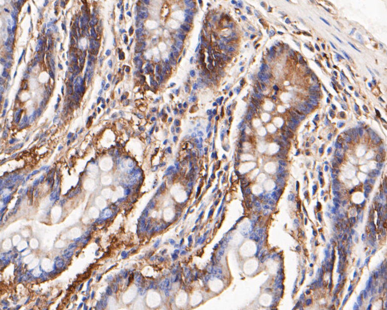 Immunohistochemical analysis of paraffin-embedded human small intestine tissue using anti-KCNMA1 antibody. The section was pre-treated using heat mediated antigen retrieval with Tris-EDTA buffer (pH 8.0-8.4) for 20 minutes.The tissues were blocked in 5% BSA for 30 minutes at room temperature, washed with ddH2O and PBS, and then probed with the primary antibody (ER1902-05, 1/50) for 30 minutes at room temperature. The detection was performed using an HRP conjugated compact polymer system. DAB was used as the chromogen. Tissues were counterstained with hematoxylin and mounted with DPX.