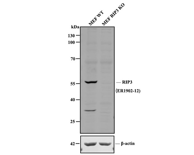 Western blot analysis of RIP3 on MEF cell lysates . Proteins were transferred to a PVDF membrane and blocked with 5% BSA in PBS for 1 hour at room temperature. The primary antibody (ER1902-12, 1/100) was used in 5% BSA at room temperature for 2 hours. Goat Anti-Mouse IgG - HRP Secondary Antibody (HA1001) at 1:5,000 dilution was used for 1 hour at room temperature.<br />  Positive control:<br />  Lane 1: Wild-type MEF whole cell lysate (20 µg)<br />  Lane 2: RIP3 knockout MEF whole cell lysate (20 µg)