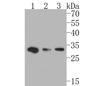 Western blot analysis of GM648 on different lysates. Proteins were transferred to a PVDF membrane and blocked with 5% BSA in PBS for 1 hour at room temperature. The primary antibody (ER1902-26, 1/500) was used in 5% BSA at room temperature for 2 hours. Goat Anti-Rabbit IgG - HRP Secondary Antibody (HA1001) at 1:5,000 dilution was used for 1 hour at room temperature.<br /> Positive control: <br /> Lane 1: Mouse placenta tissue lysate<br /> Lane 2: Mouse heart tissue lysate<br /> Lane 3: Mouse cerebellum tissue lysate
