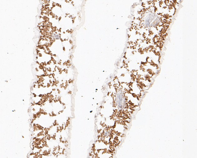 Immunohistochemical analysis of paraffin-embedded A. thaliana tissue using anti-PAS2 antibody. The section was pre-treated using heat mediated antigen retrieval with Tris-EDTA buffer (pH 8.0-8.4) for 20 minutes.The tissues were blocked in 5% BSA for 30 minutes at room temperature, washed with ddH2O and PBS, and then probed with the primary antibody (ER1902-29, 1/50) for 30 minutes at room temperature. The detection was performed using an HRP conjugated compact polymer system. DAB was used as the chromogen. Tissues were counterstained with hematoxylin and mounted with DPX.