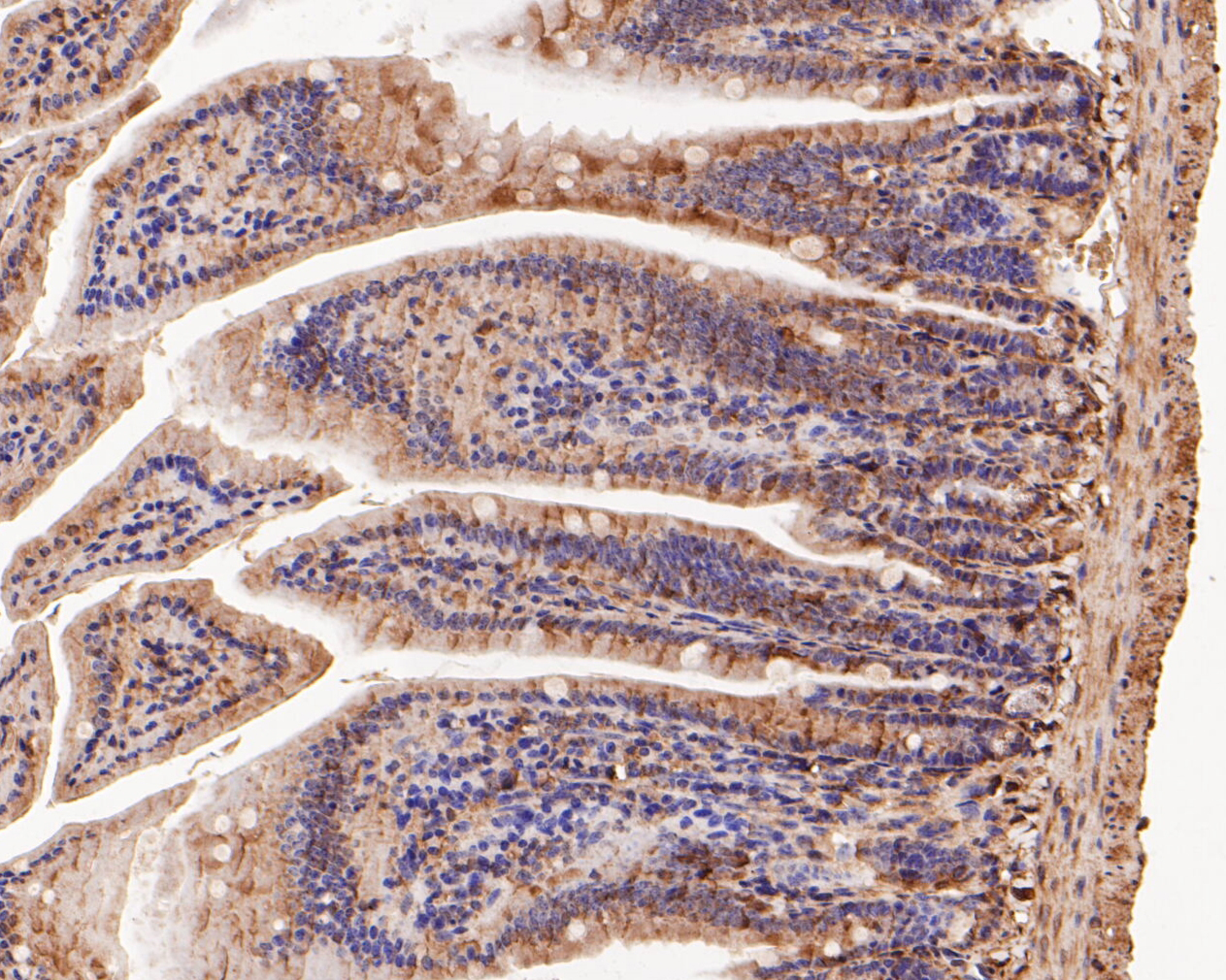 Immunohistochemical analysis of paraffin-embedded mouse colon tissue using anti-Connexin-26 antibody. The section was pre-treated using heat mediated antigen retrieval with Tris-EDTA buffer (pH 8.0-8.4) for 20 minutes.The tissues were blocked in 5% BSA for 30 minutes at room temperature, washed with ddH2O and PBS, and then probed with the primary antibody (ER1902-42, 1/50) for 30 minutes at room temperature. The detection was performed using an HRP conjugated compact polymer system. DAB was used as the chromogen. Tissues were counterstained with hematoxylin and mounted with DPX.