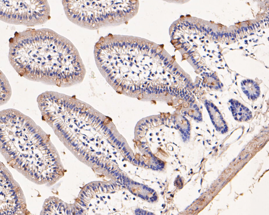 Immunohistochemical analysis of paraffin-embedded mouse small intestine tissue using anti-ETN1 antibody. The section was pre-treated using heat mediated antigen retrieval with Tris-EDTA buffer (pH 8.0-8.4) for 20 minutes.The tissues were blocked in 5% BSA for 30 minutes at room temperature, washed with ddH2O and PBS, and then probed with the primary antibody (ER1902-43, 1/50) for 30 minutes at room temperature. The detection was performed using an HRP conjugated compact polymer system. DAB was used as the chromogen. Tissues were counterstained with hematoxylin and mounted with DPX.