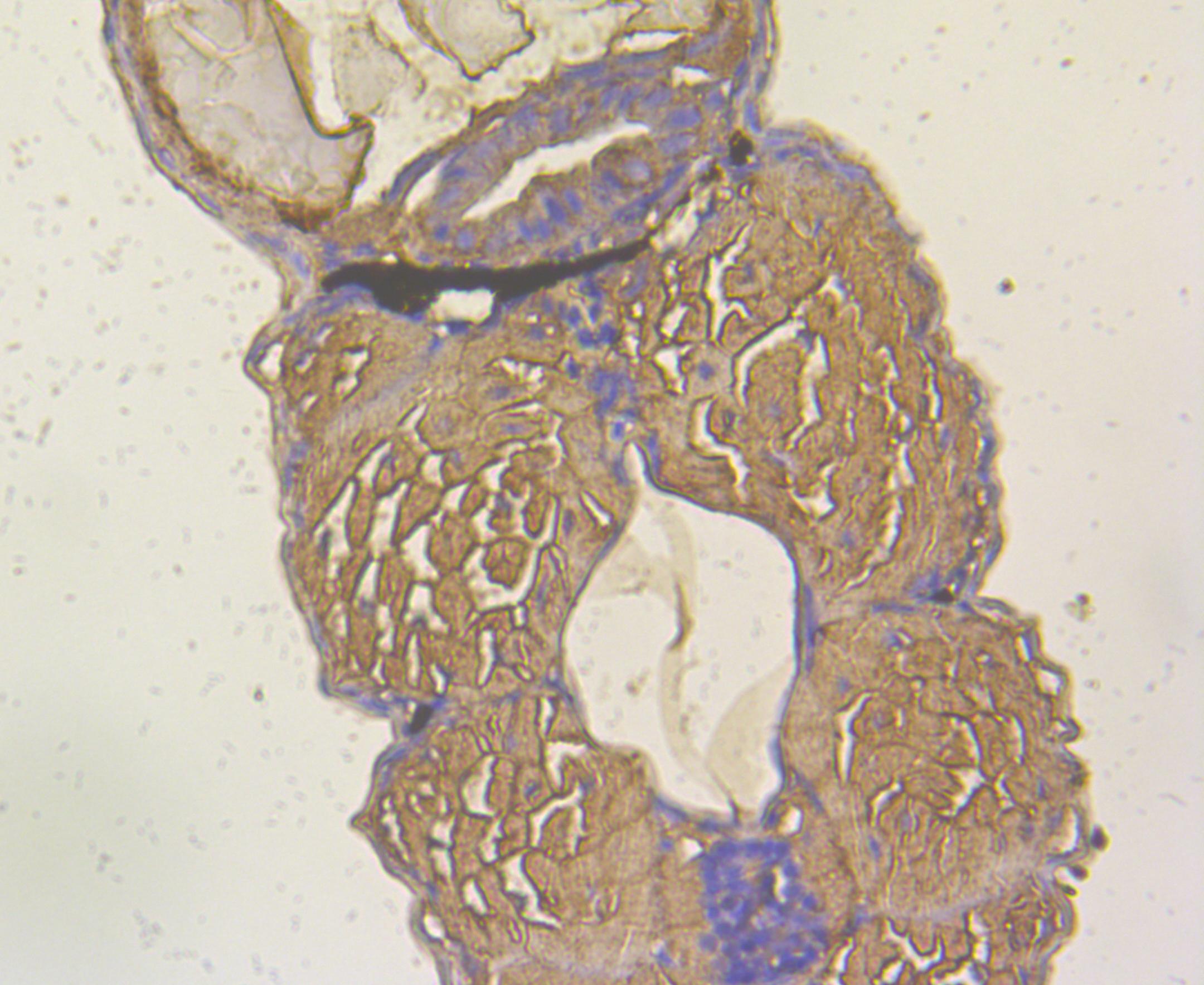Immunohistochemical analysis of paraffin-embedded Zebrafish embryos tissue section using anti-YARS2 antibody. Counter stained with hematoxylin.