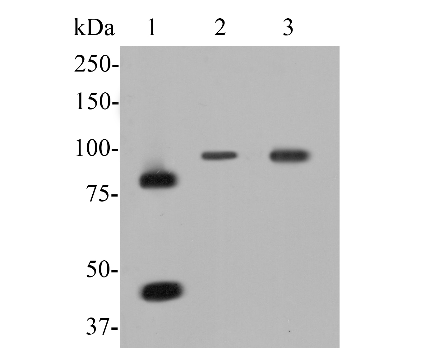 Western blot analysis of MCM7 on different lysates. Proteins were transferred to a PVDF membrane and blocked with 5% BSA in PBS for 1 hour at room temperature. The primary antibody (ER1902-60, 1/500) was used in 5% BSA at room temperature for 2 hours. Goat Anti-Rabbit IgG - HRP Secondary Antibody (HA1001) at 1:5,000 dilution was used for 1 hour at room temperature.<br />  Positive control: <br />  Lane 1: MCF-7 cell lysate <br />  Lane 2: K562 cell lysate<br />  Lane 3: Mouse colon tissue lysate