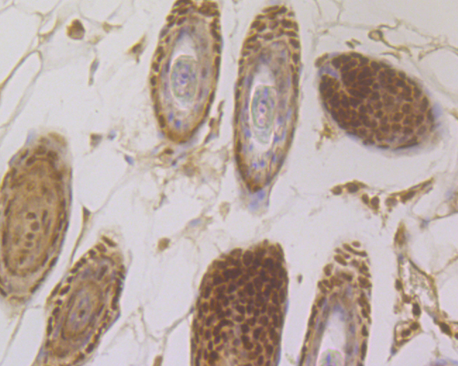 Immunohistochemical analysis of paraffin-embedded mouse skin tissue using anti-MCM7 antibody. The section was pre-treated using heat mediated antigen retrieval with sodium citrate buffer (pH 6.0) for 20 minutes. The tissues were blocked in 5% BSA for 30 minutes at room temperature, washed with ddH2O and PBS, and then probed with the primary antibody (ER1902-60, 1/200) for 30 minutes at room temperature. The detection was performed using an HRP conjugated compact polymer system. DAB was used as the chromogen. Tissues were counterstained with hematoxylin and mounted with DPX.