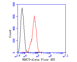 Flow cytometric analysis of WDR70 was done on SiHa cells. The cells were fixed, permeabilized and stained with the primary antibody (ER1902-66, 1/50) (red). After incubation of the primary antibody at room temperature for an hour, the cells were stained with a Alexa Fluor 488-conjugated Goat anti-Rabbit IgG Secondary antibody at 1/1000 dilution for 30 minutes.Unlabelled sample was used as a control (cells without incubation with primary antibody; black).