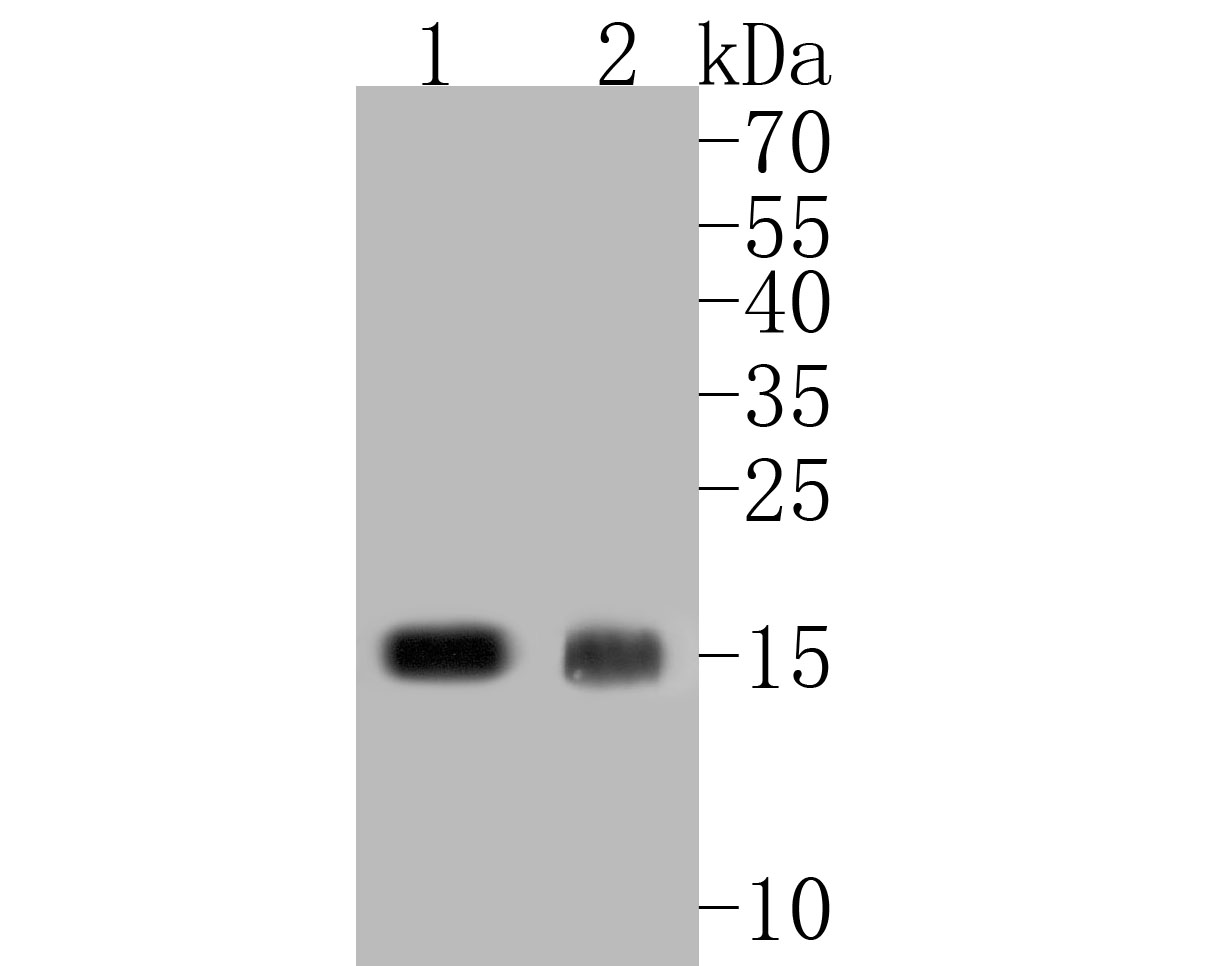 Western blot analysis of IFITM1 on different lysates. Proteins were transferred to a PVDF membrane and blocked with 5% BSA in PBS for 1 hour at room temperature. The primary antibody (ER1902-77, 1/500) was used in 5% BSA at room temperature for 2 hours. Goat Anti-Rabbit IgG - HRP Secondary Antibody (HA1001) at 1:5,000 dilution was used for 1 hour at room temperature.<br /> Positive control: <br /> Lane 1: K562 cell lysate<br /> Lane 2: SHG-44 cell lysate