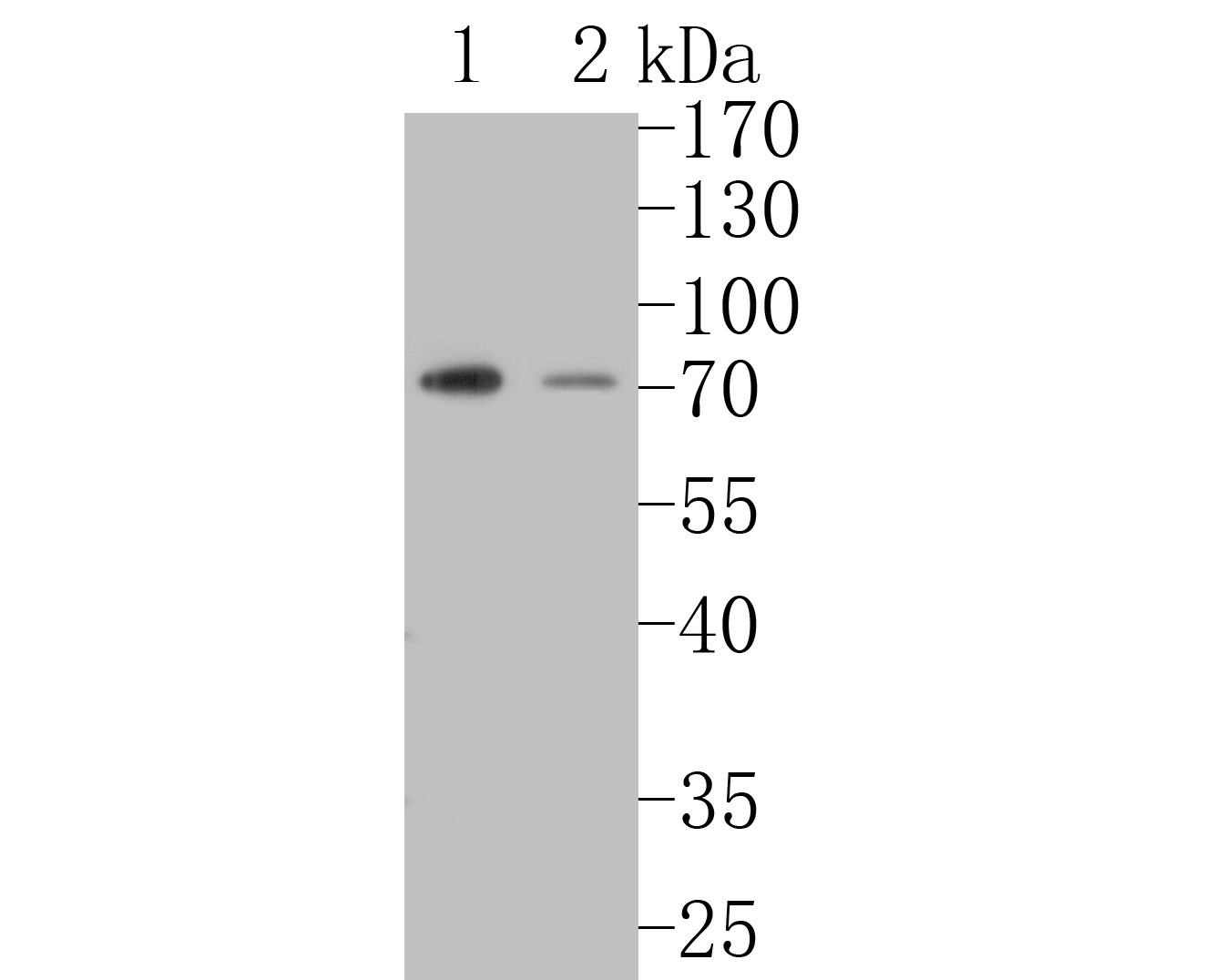 Western blot analysis of SLFN12 on different lysates. Proteins were transferred to a PVDF membrane and blocked with 5% BSA in PBS for 1 hour at room temperature. The primary antibody (ER1902-84, 1/500) was used in 5% BSA at room temperature for 2 hours. Goat Anti-Rabbit IgG - HRP Secondary Antibody (HA1001) at 1:5,000 dilution was used for 1 hour at room temperature.<br />  Positive control: <br />  Lane 1: U937 cell lysate<br />  Lane 2: HL-60 cell lysate