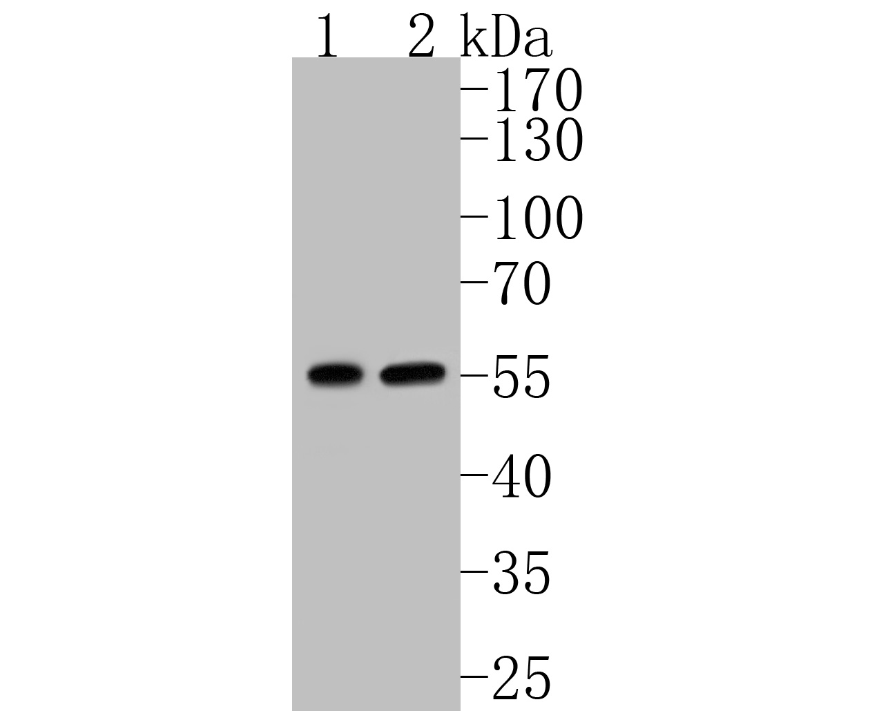 Western blot analysis of GLUD1 on different lysates. Proteins were transferred to a PVDF membrane and blocked with 5% BSA in PBS for 1 hour at room temperature. The primary antibody (ER1902-85, 1/500) was used in 5% BSA at room temperature for 2 hours. Goat Anti-Rabbit IgG - HRP Secondary Antibody (HA1001) at 1:5,000 dilution was used for 1 hour at room temperature.<br />  Positive control: <br />  Lane 1: Hela cell lysate<br />  Lane 2: HepG2 cell lysate