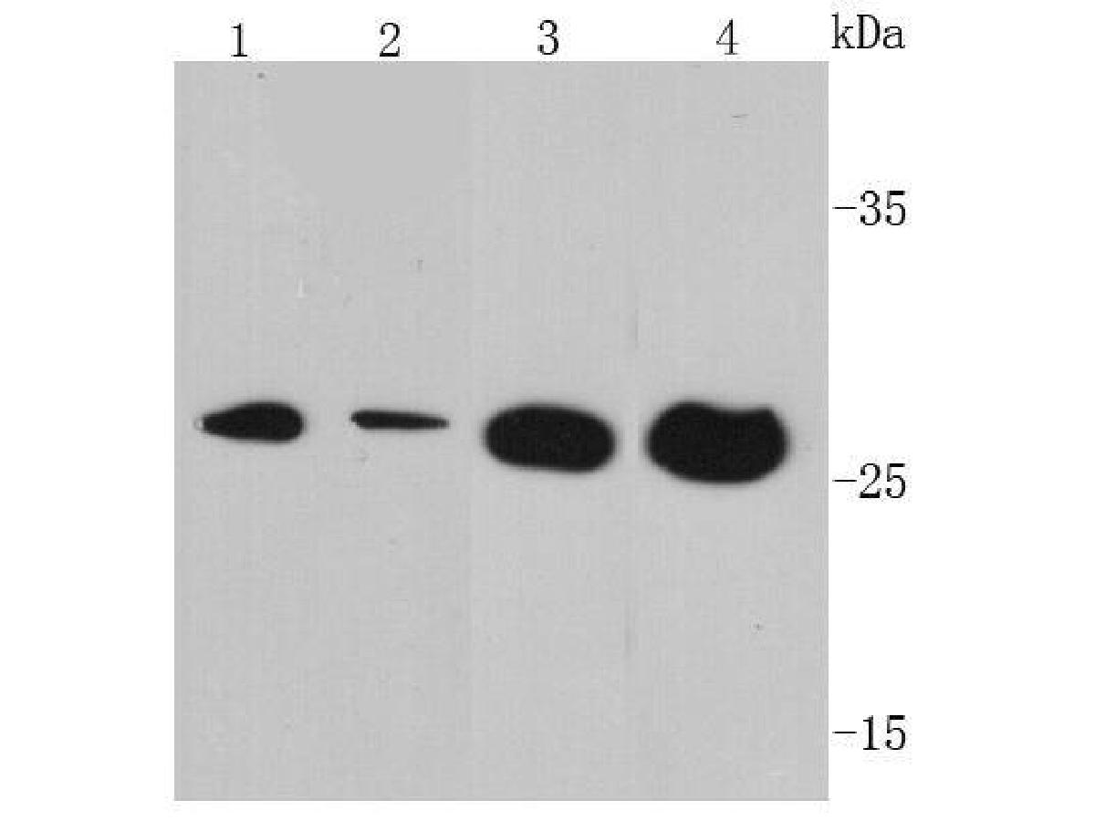 Western blot analysis of VEGF on different cell lysates using anti- VEGF antibody at 1/500 dilution.<br />  Positive control: <br />  Lane 1: Jurkat <br />  Lane 2: Hela <br />  Lane 3: MCF-7 <br />  Lane 4: Human brain