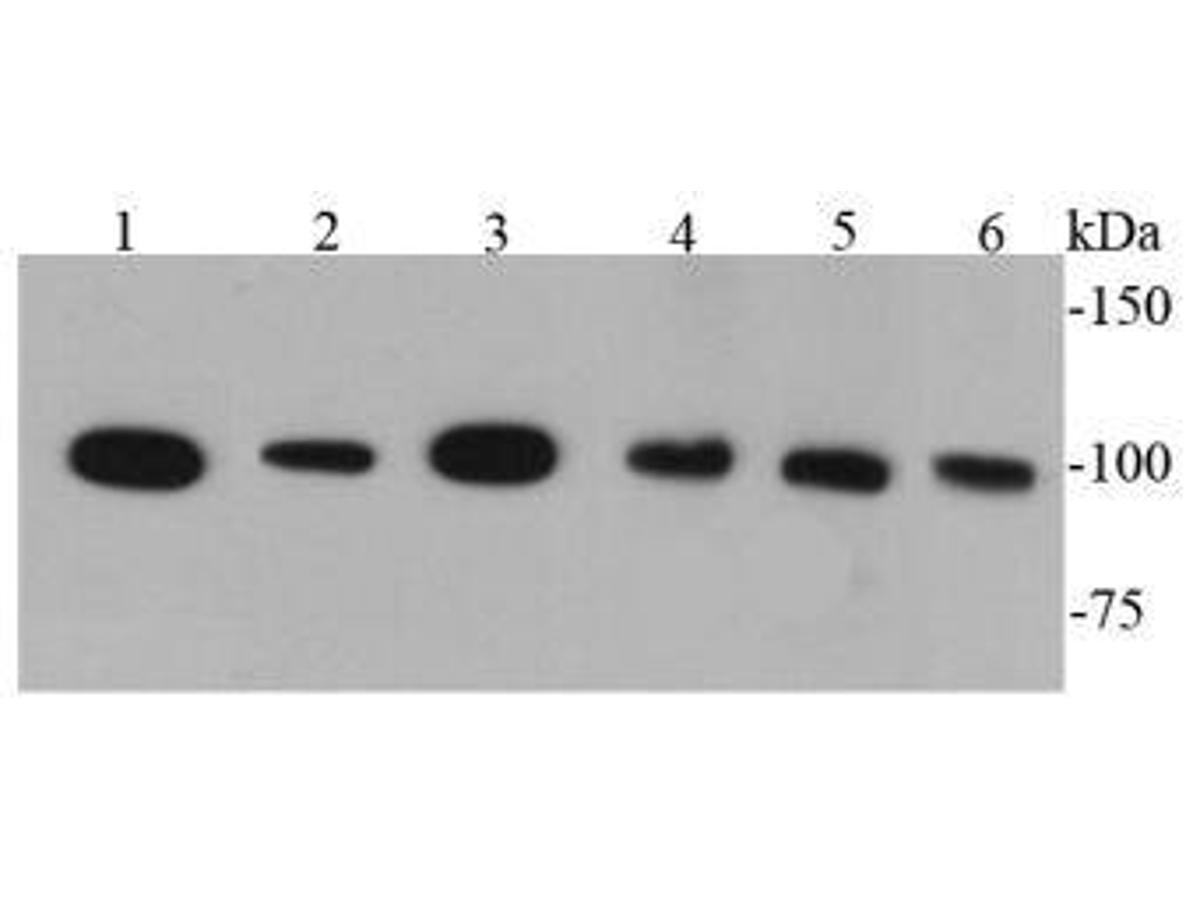 Western blot analysis of CD133 on different cell lysates using anti-CD133 antibody at 1/1000 dilution.