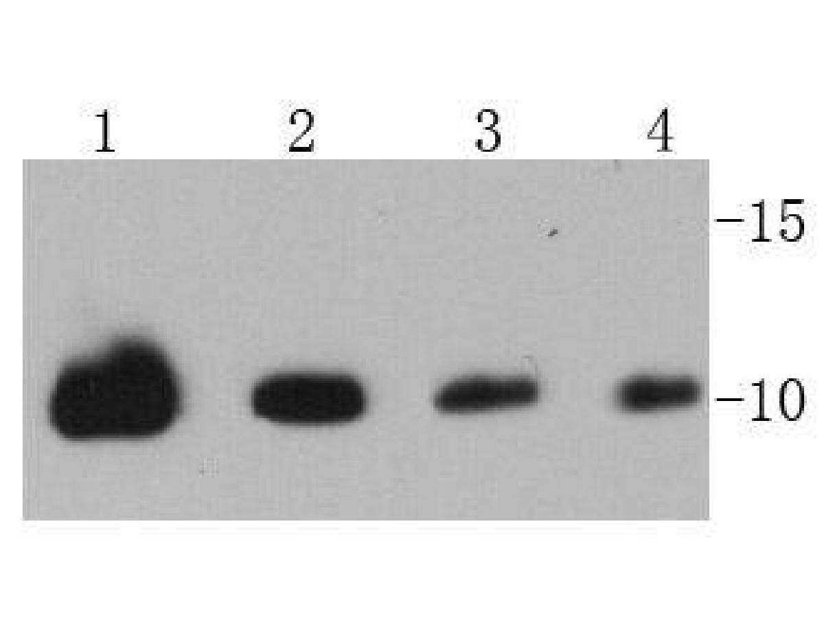 Western blot analysis of Ubiquitin on different cell lysates using anti-Ubiquitin antibody at 1/1000 dilution.<br />  Positive control: <br />  Lane 1: 293T <br />  Lane 2: HepG2 <br />  Lane 3: Hela <br />  Lane 4: MCF-2