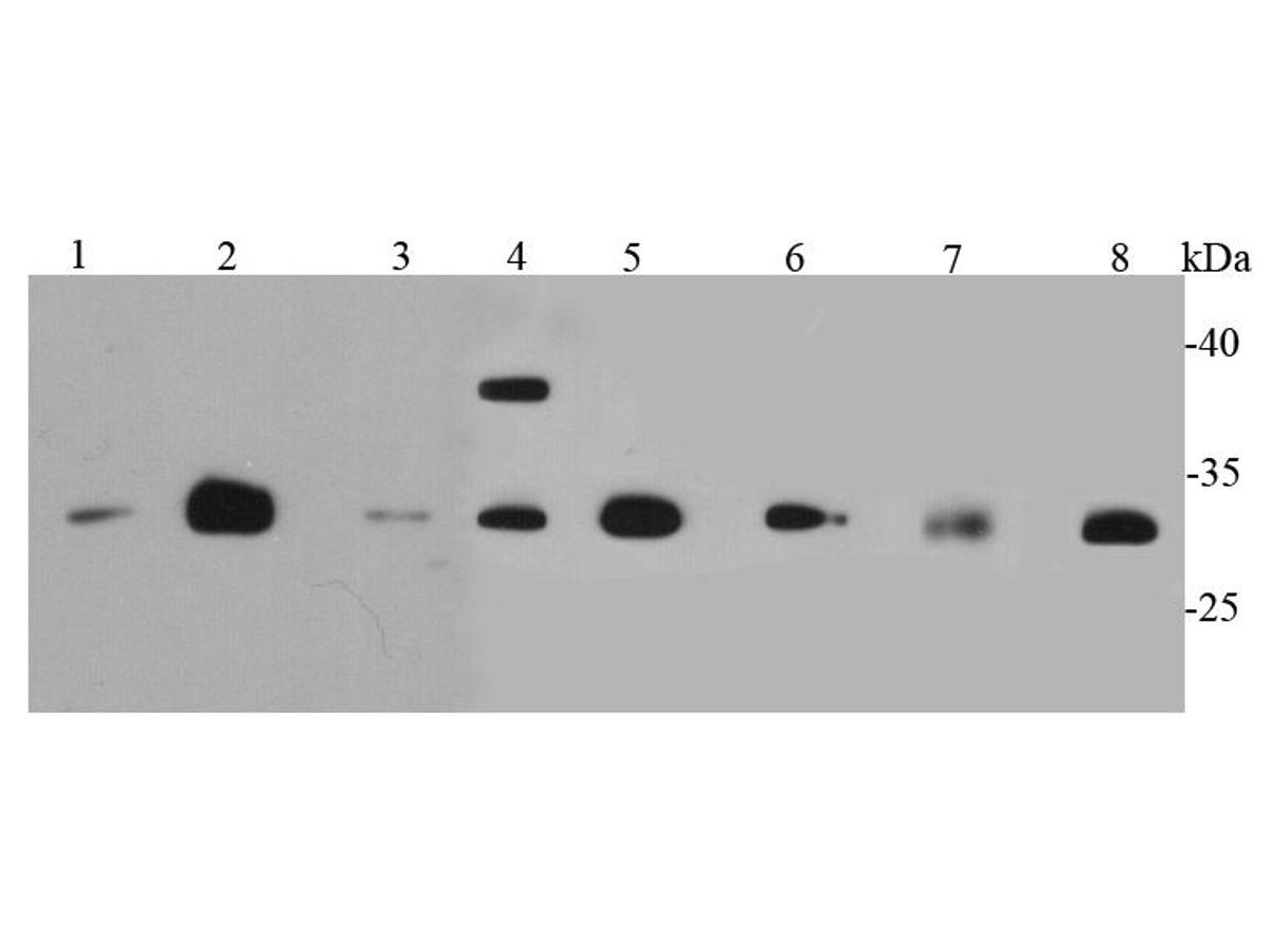 Western blot analysis of CDk1 on different cell lysates using anti-CDk1 antibody at 1/500 dilution.<br />  Positive control: <br />  Lane 1: MCF-7 <br />  Lane 2: Jurkat <br />  Lane 3: PC12 <br />  Lane 4: HepG2 <br />  Lane 5: Hela <br />  Lane 6: NIH/3T3 <br />  Lane 7: Mouse liver <br />  Lane 8: SKBR3