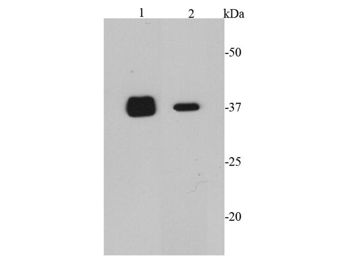 Western blot analysis of CDK6 on different cell lysates using anti-CDK6 antibody at 1/2000 dilution.<br /> Positive control: <br /> Lane 1: K562 <br /> Lane 2: COS-1