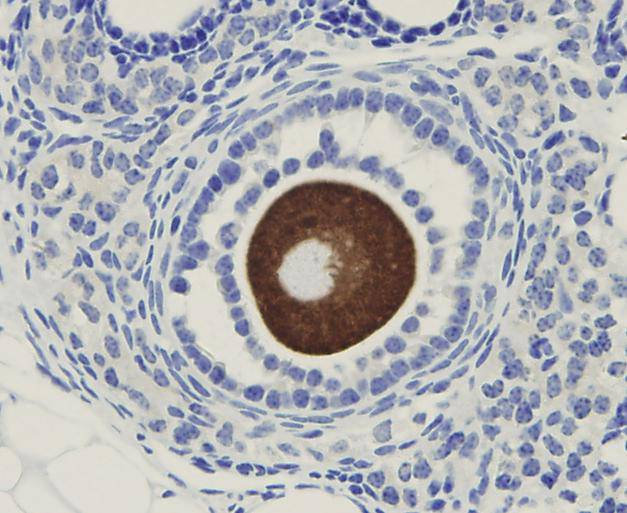 Immunohistochemical analysis of paraffin-embedded mouse ovary tissue using anti-OOEP antibody. Counter stained with hematoxylin.