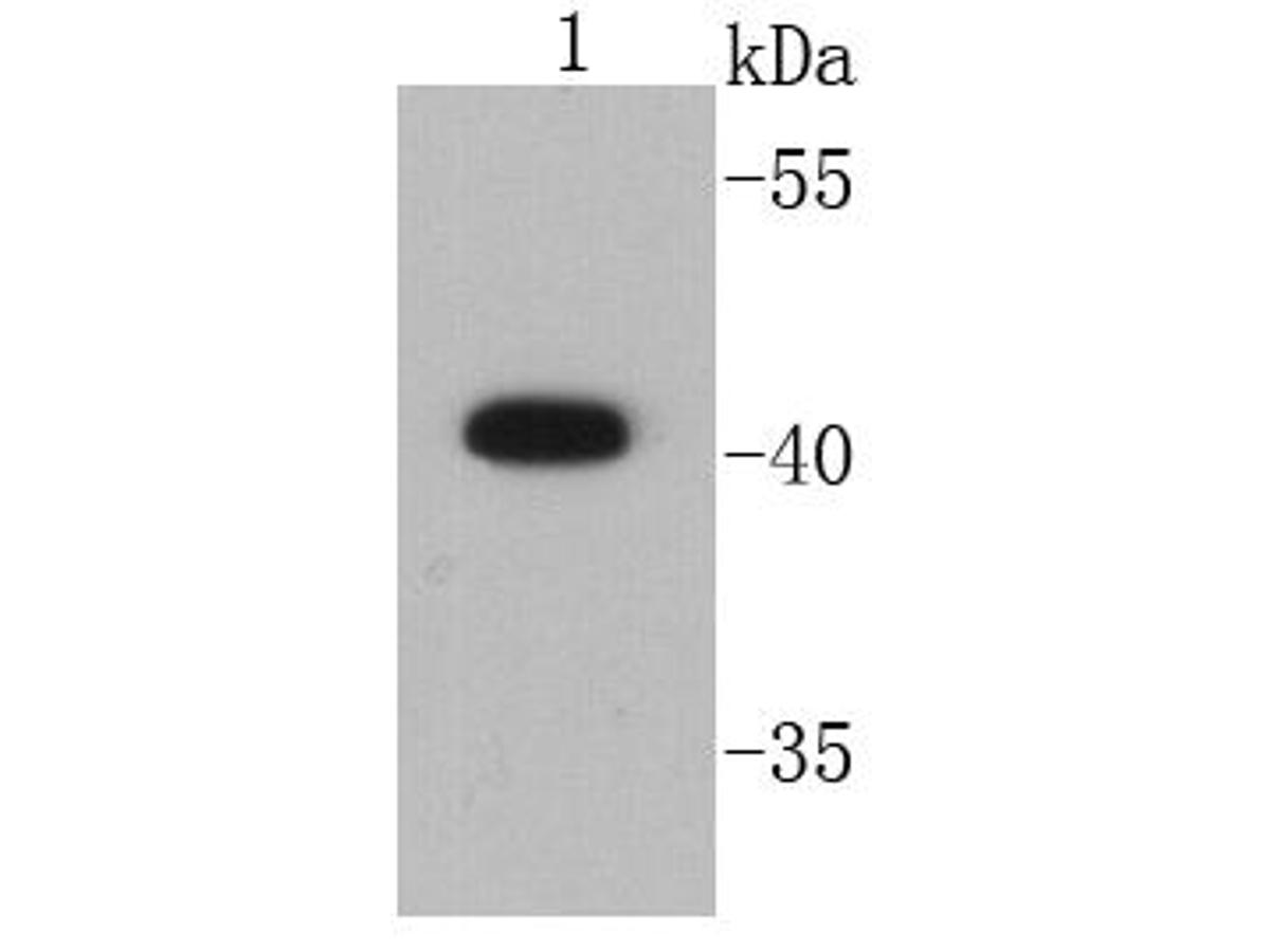 Western blot analysis of CD9 on HepG2 cell lysates using anti-CD9 antibody at 1/1000 dilution.