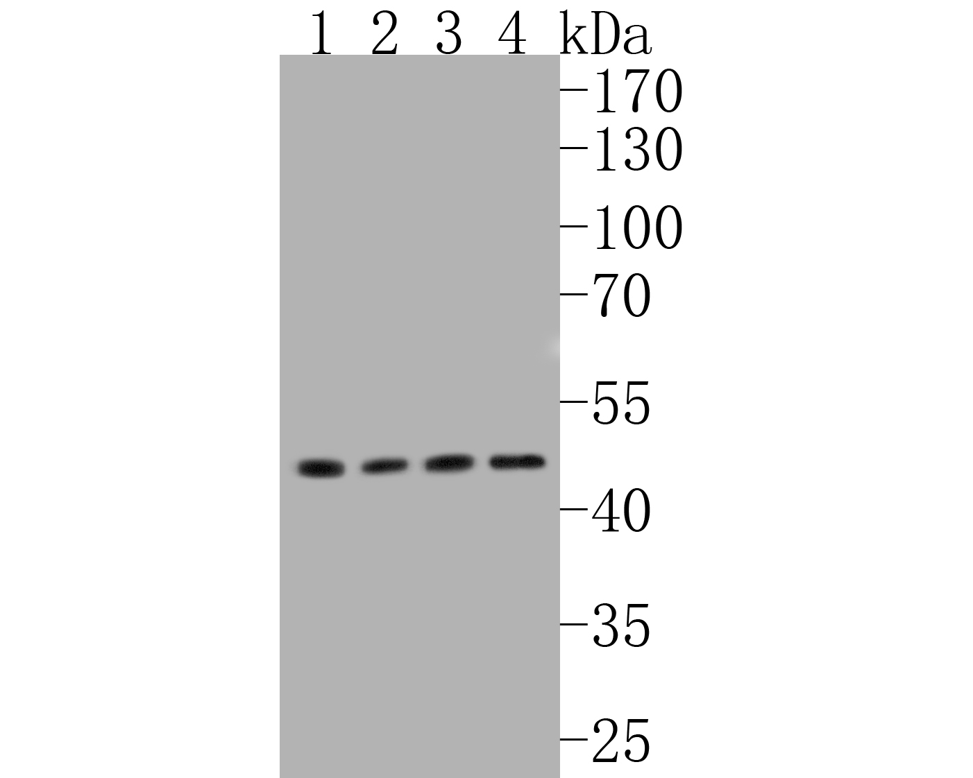 Western blot analysis of Glucose Transporter GLUT1 on different lysates. Proteins were transferred to a PVDF membrane and blocked with 5% BSA in PBS for 1 hour at room temperature. The primary antibody (ET1601-10, 1/500) was used in 5% BSA at room temperature for 2 hours. Goat Anti-Rabbit IgG - HRP Secondary Antibody (HA1001) at 1:5,000 dilution was used for 1 hour at room temperature.<br /> Positive control: <br /> Lane 1: Hela cell lysate<br /> Lane 2: Sk-Br-3 cell lysate<br /> Lane 3: NIH/3T3 cell lysate<br /> Lane 4: HepG2 cell lysate