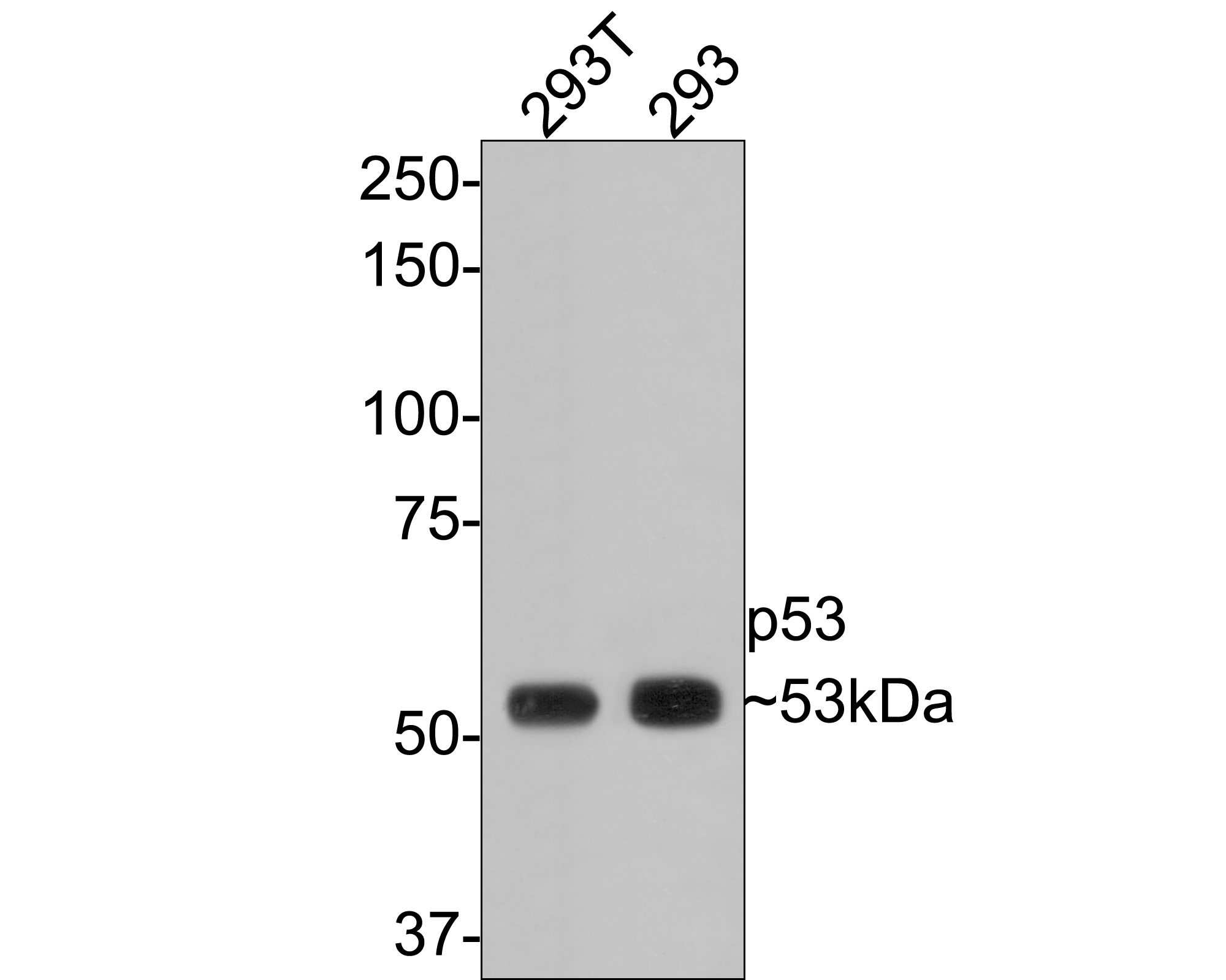 Western blot analysis of p53 on different lysates. Proteins were transferred to a PVDF membrane and blocked with 5% BSA in PBS for 1 hour at room temperature. The primary antibody (ET1601-13, 1/500) was used in 5% BSA at room temperature for 2 hours. Goat Anti-Rabbit IgG - HRP Secondary Antibody (HA1001) at 1:5,000 dilution was used for 1 hour at room temperature.<br /> Positive control: <br /> Lane 1: 293T cell lysate<br /> Lane 2: 293 cell lysate