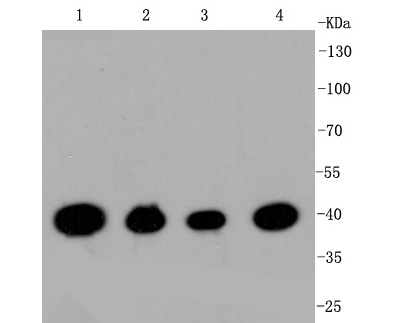 Western blot analysis of CREB on different lysates. Proteins were transferred to a PVDF membrane and blocked with 5% BSA in PBS for 1 hour at room temperature. The primary antibody (ET1601-15, 1/500) was used in 5% BSA at room temperature for 2 hours. Goat Anti-Rabbit IgG - HRP Secondary Antibody (HA1001) at 1:5,000 dilution was used for 1 hour at room temperature.<br /> Positive control: <br /> Lane 1: Hela cell lysate<br /> Lane 2: HepG2 cell lysate<br /> Lane 3: Jurkat cell lysate<br /> Lane 4: NIH/3T3 cell lysate