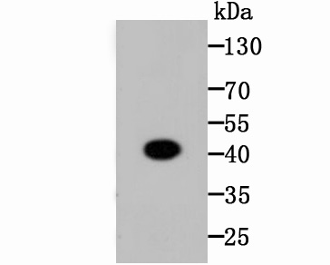 Western blot analysis of CREB on zebrafish tissue lysates. Proteins were transferred to a PVDF membrane and blocked with 5% BSA in PBS for 1 hour at room temperature. The primary antibody (ET1601-15, 1/500) was used in 5% BSA at room temperature for 2 hours. Goat Anti-Rabbit IgG - HRP Secondary Antibody (HA1001) at 1:5,000 dilution was used for 1 hour at room temperature.